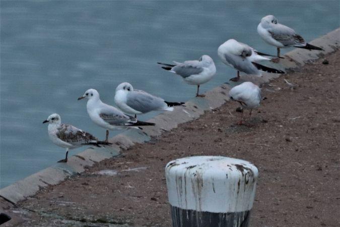 Mediterranean Gull  - Jiri Vratny