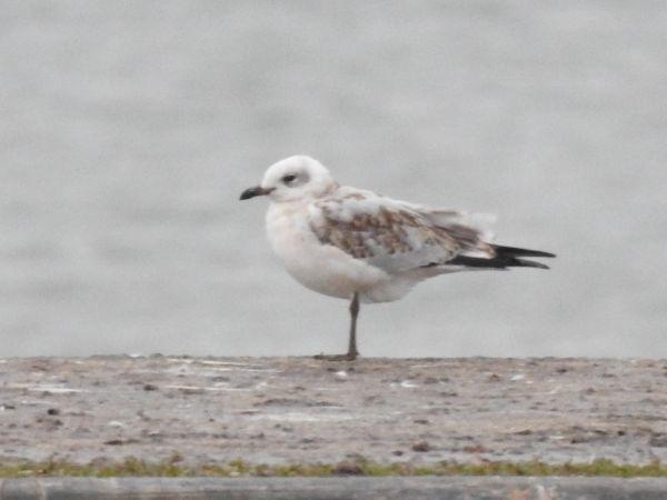 Mediterranean Gull  - Jörg Schmitz