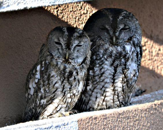 Tawny Owl  - Enric Badosa