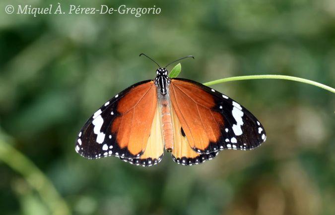 Plain Tiger  - Miquel Àngel Pérez-de-Gregorio Capella