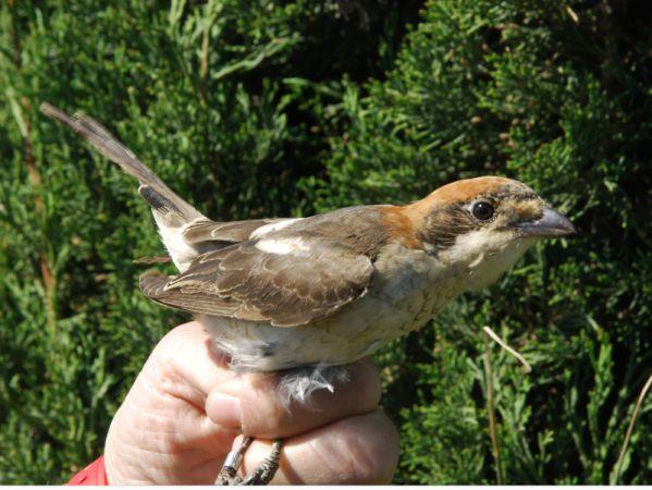 Woodchat Shrike (L.s.badius)  - Oriol Baltà