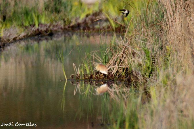 Squacco Heron  - Jordi Comellas Novell