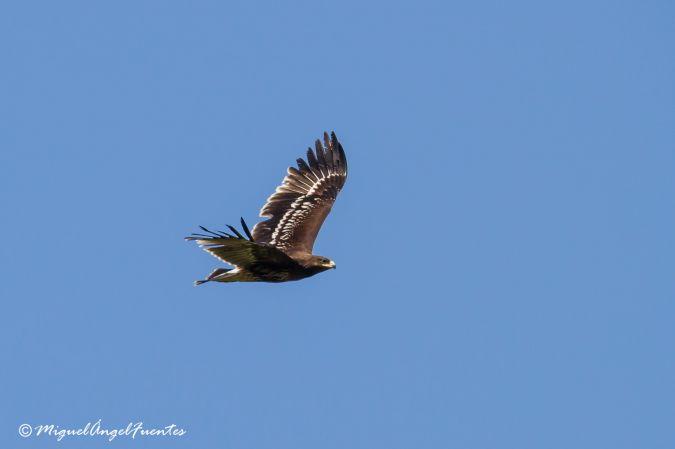 Àguila cridanera  - Miguel Angel Fuentes