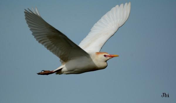 Cattle Egret  - Jean Bisetti