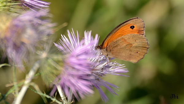 Meadow Brown  - Jean Bisetti