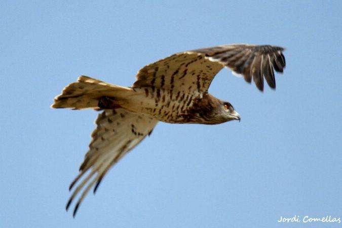 Àguila marcenca  - Jordi Comellas Novell