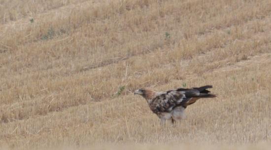 Àguila imperial ibèrica  - Arnau Tolrà