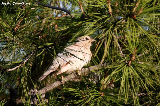 Pardal comú  - Jordi Comellas Novell