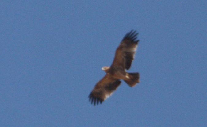 Águila Imperial Ibérica  - Carlos Grande