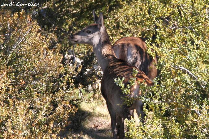 Roe Deer  - Jordi Comellas Novell