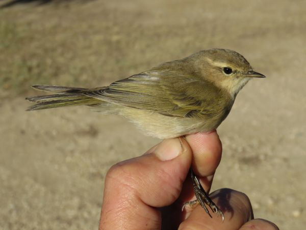Common Chiffchaff (P.c.tristis)  - David Bigas (parc Natural Delta Ebre)