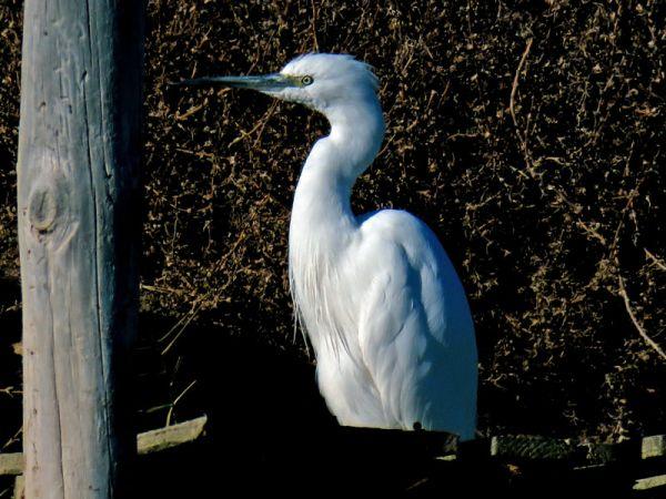 Little Egret  - Raül Miralta Gamisans