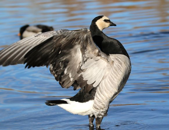 Barnacle Goose  - Ignasi Josep Tejedor