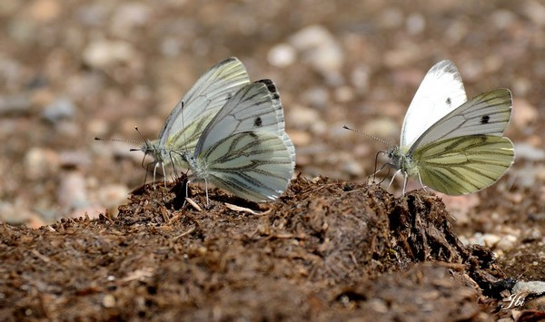 Green-veined White  - Jean Bisetti