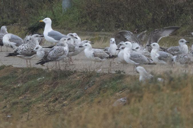 Caspian Gull  - Joan Goy