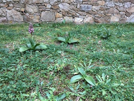 Himantoglossum robertianum  - David Carrera Bonet