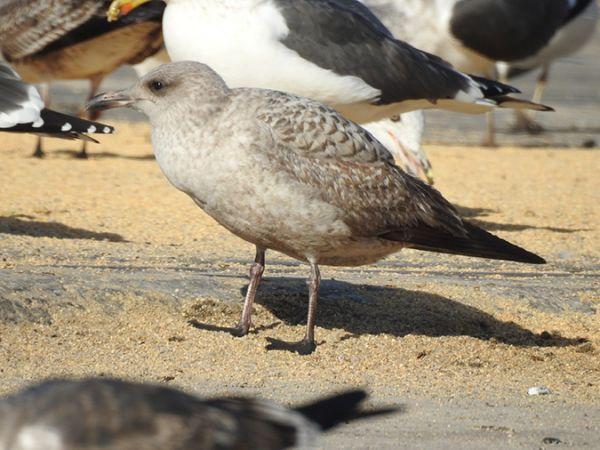 Herring Gull  - Raül Aymí