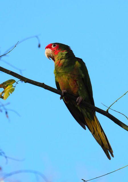 Mitred Parakeet  - Manuel CaamaÑo Torres