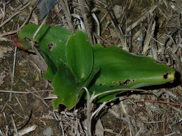 Himantoglossum robertianum  - Enric Badosa