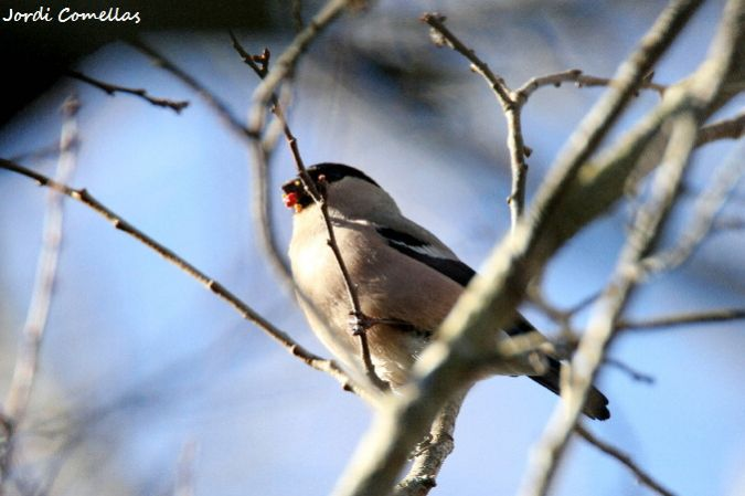 Eurasian Bullfinch  - Jordi Comellas Novell