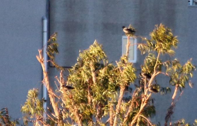 Hooded Crow  - Lluís Vilamajó