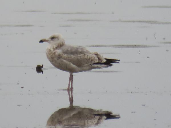 Herring Gull  - David Bigas (parc Natural Delta Ebre)