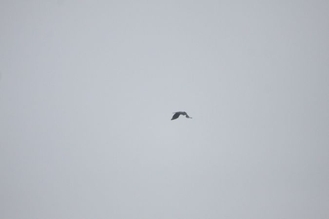 Hooded Crow  - Claudio Bracho