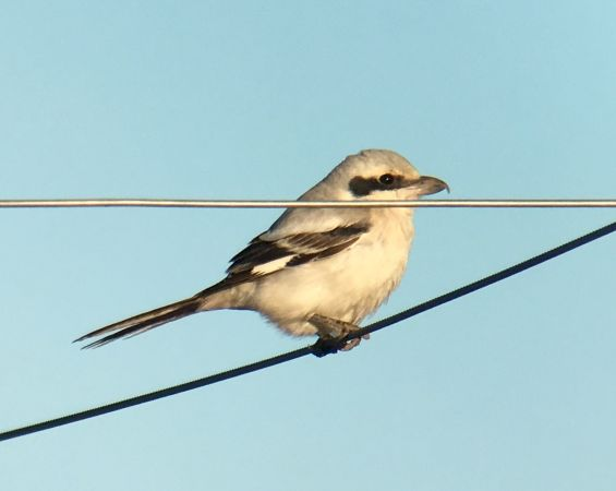 Steppe Grey Shrike  - Ramon Prat Espelt
