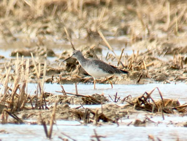 Lesser Yellowlegs  - Ramon Prat Espelt