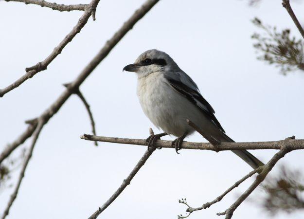 Steppe Grey Shrike  - Julien Piette