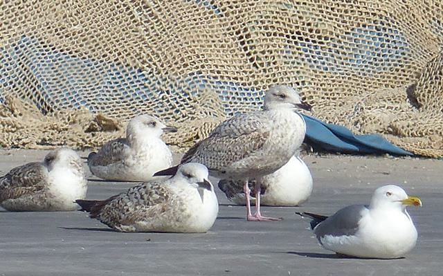 Herring Gull  - Pere Josa Anguera