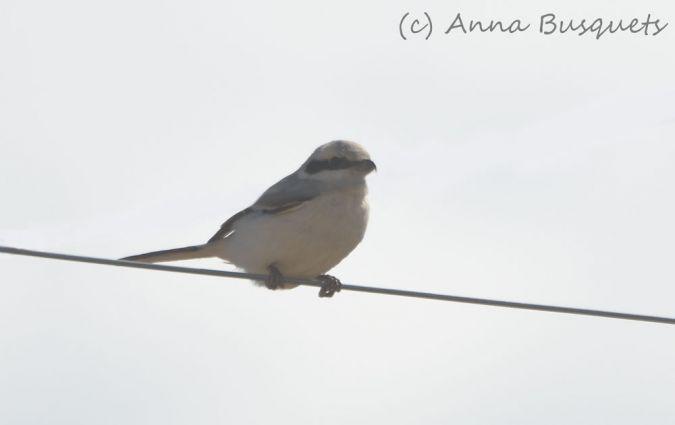 Steppe Grey Shrike  - Miquel Àngel Pérez-de-Gregorio Capella
