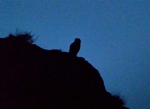 Eurasian Eagle-Owl  - Thomas Kuppel