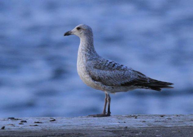 Herring Gull  - Camilo Albert Fernández