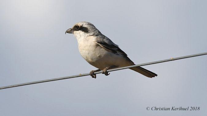 Steppe Grey Shrike  - Christian Kerihuel