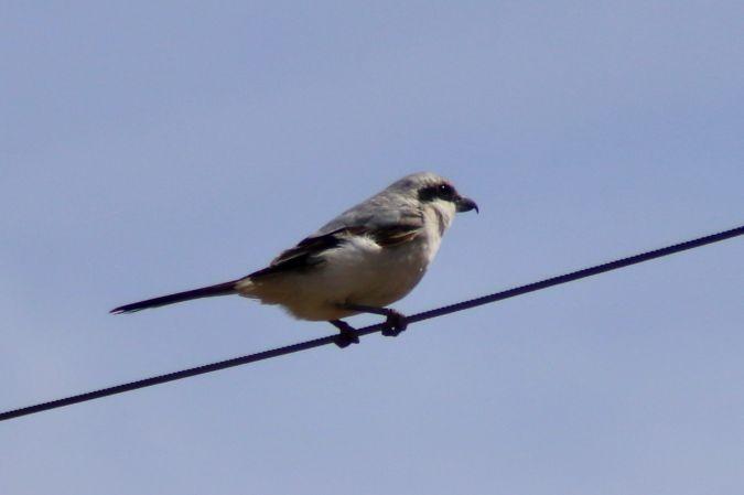 Steppe Grey Shrike  - Àlex Sastre