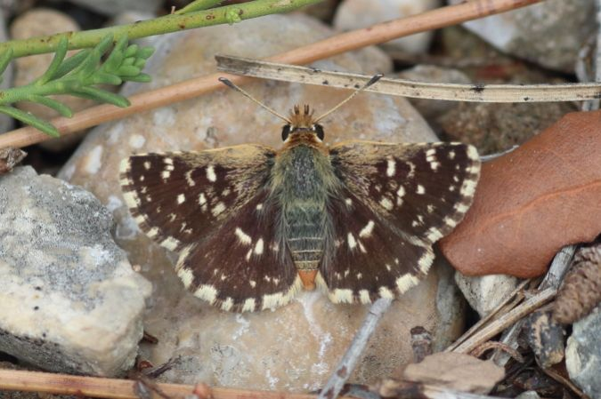 Red-underwing Skipper  - Joan Estrada Bonell