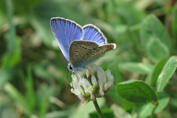 Common Blue  - Joan Estrada Bonell