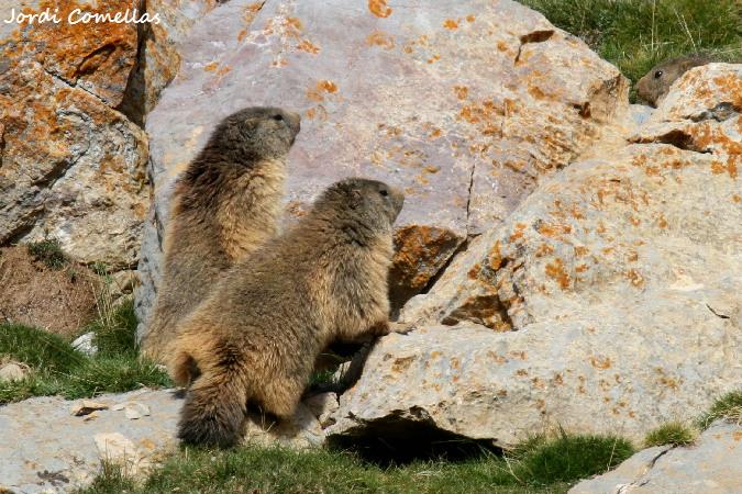 Alpine Marmot  - Jordi Comellas Novell