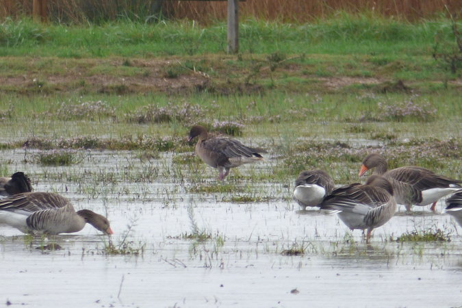 Pink-footed Goose  - Irene Barnosell