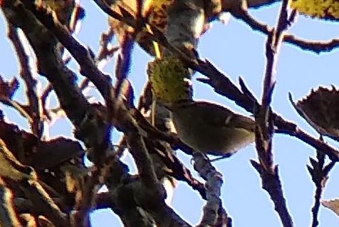 Yellow-browed Warbler  - Arnau Tolrà