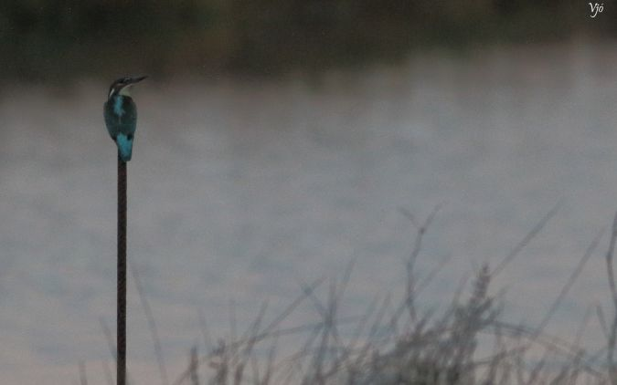 Common Kingfisher  - Lluís Vilamajó