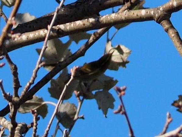 Yellow-browed Warbler  - Àlex Rollan