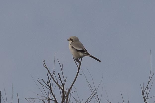 Steppe Grey Shrike  - Mayca Martí