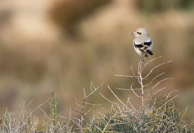 Steppe Grey Shrike  - Jordi Jover Garcia