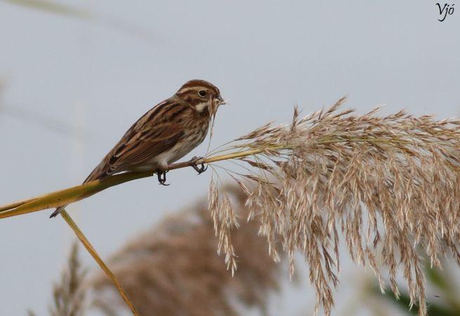 Common Reed Bunting  - Lluís Vilamajó