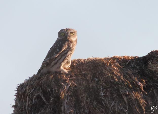 Little Owl  - Lluís Vilamajó