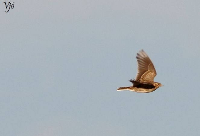 Eurasian Skylark  - Lluís Vilamajó