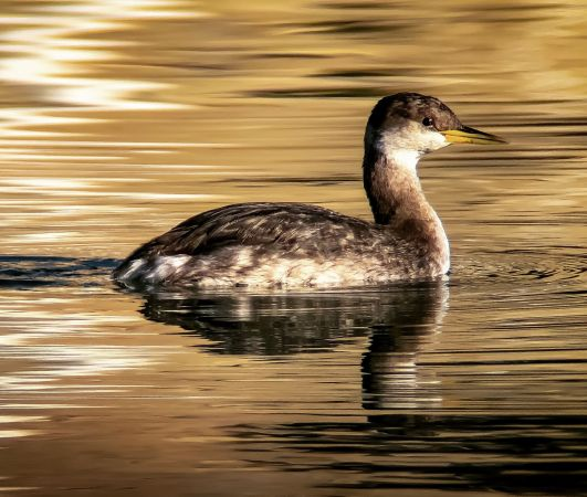 Red-necked Grebe  - Pere Baucells Colomer