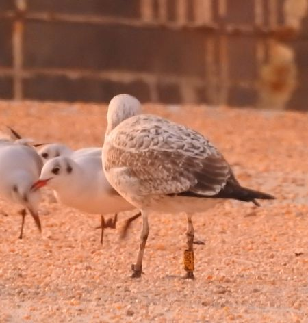 Caspian Gull  - Raül Aymí